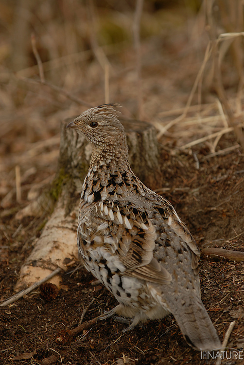 Spruce grouse hen watching the camera.