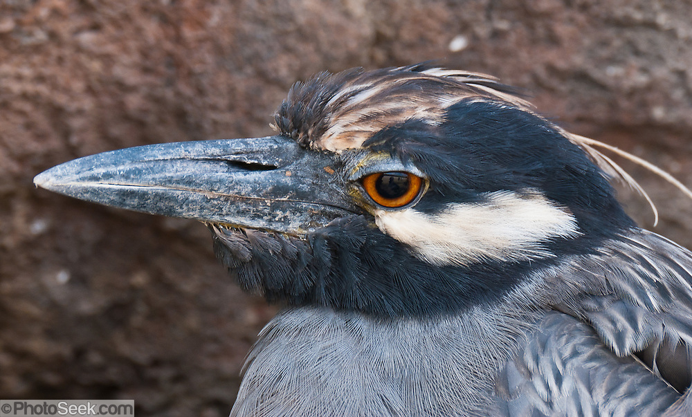 The Yellow-crowned Night Heron (Nycticorax violaceus or Nyctanassa violacea) is seen on Isla Genovesa (or Tower Island), and common throughout the Galápagos Islands, Ecuador, South America.  It is mainly active at night catching beetles, locusts, insects, crabs, scorpions and centipedes. They have short yellow legs, orange or red eyes with a white stripe below, a white crown and white back with the remainder of the body grayish. Juveniles resemble young Black-crowned Night-Herons, being mainly brown flecked with white or gray. The Yellow-crowned Night Heron is similar in appearance to the Black-crowned Night Heron. In warmer locations of the Americas, such as coastal Brazil, some are permanent residents; others migrate to Central America and the West Indies. They may occasionally wander north to the lower Great Lakes or Ontario after the breeding season.