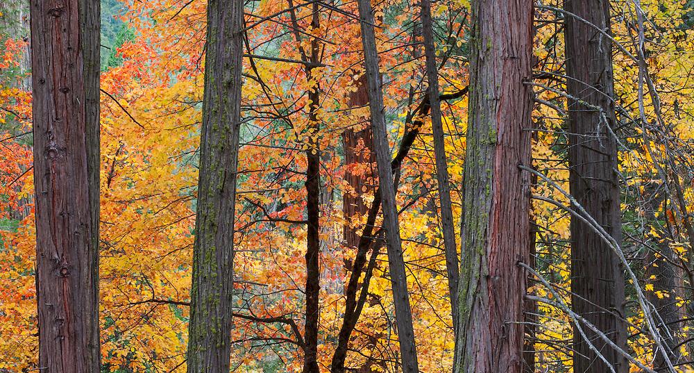 Autumn forest, Yosemite Valley, Yosemite National Park, California  2009