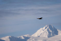 A bald eagle soars high above the Chilkat River valley in the Alaska Chilkat Bald Eagle Preserve near Haines, Alaska with Four Winds Mountain in the background. During late fall, bald eagles congregate along the Chilkat River in the Alaska Chilkat Bald Eagle Preserve to feed on salmon in what is believed to be the largest gathering of bald eagles in the world.