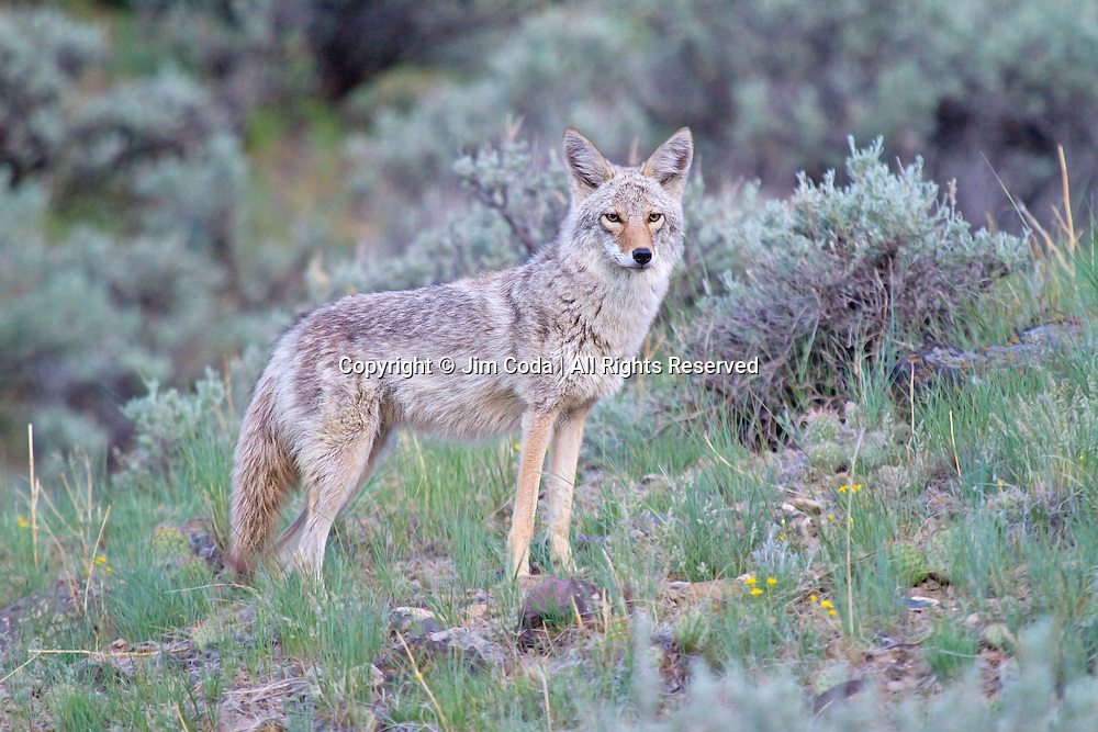 A coyote pauses aabove the Gardner River.