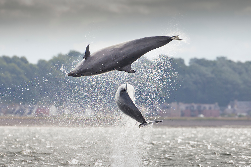 Bottlenose dolphins (Tursiops truncatus) breaching, Moray Firth, Scotland.