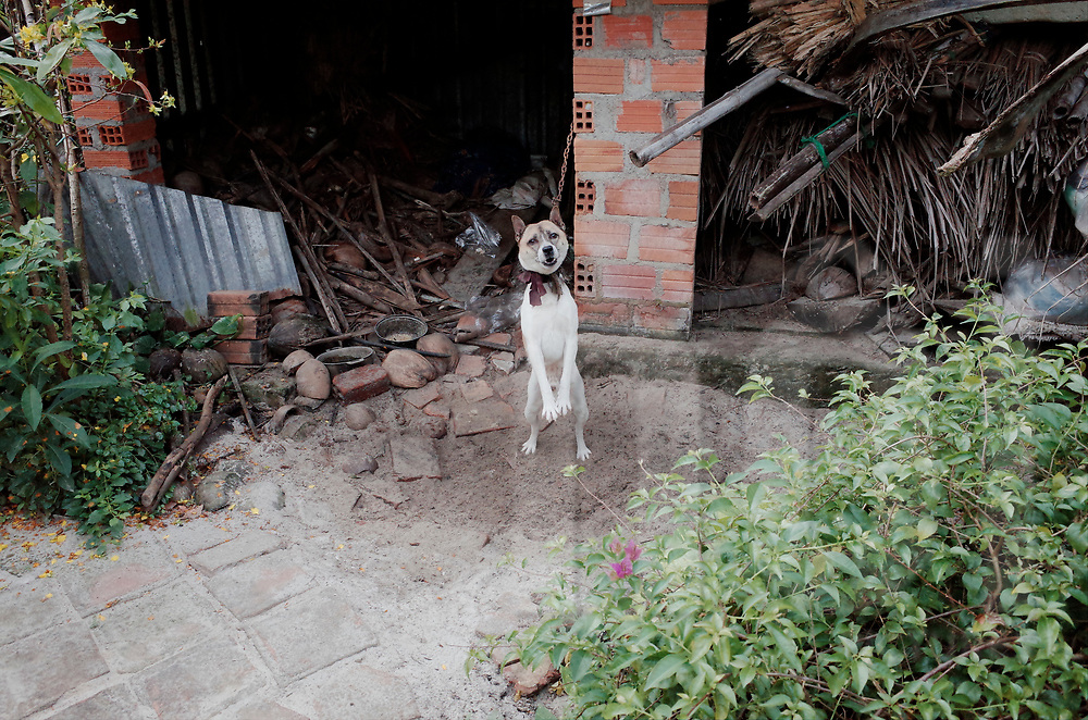 Aggressive dog guarding a house, Vietnam, Southeast Asia