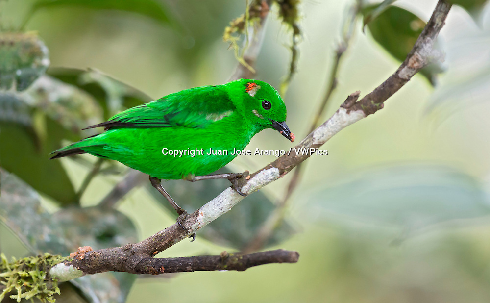 Glistening-green Tanager (Chlorochrysa phoenicotis) El Queremal, Valle del Cauca