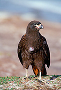 A striated Caracara bird on Sea Lion Island - part of the Falkland Islands in the South Atlantic Ocean