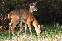 09 April 2005<br /> <br /> Comlara Park, McLean County, Il<br /> Whitetail deer (Photo by Alan Look)
