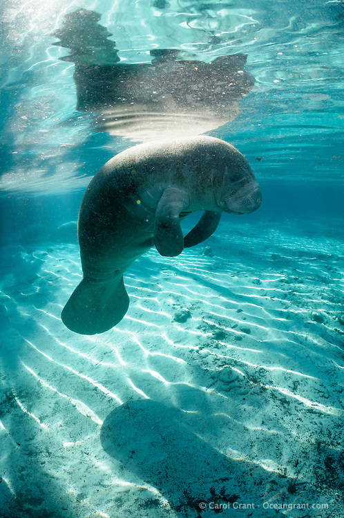 Florida manatee, Trichechus manatus latirostris, a subspecies of the West Indian manatee, endangered. A male manatee rests while floating at the surface with strong warming sunlight on his back. Vertical orientation, blue water and reflection. Three Sisters Springs, Crystal River National Wildlife Refuge, Kings Bay, Crystal River, Citrus County, Florida USA.