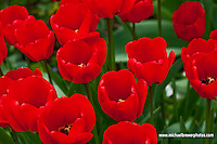 Close-up of a field of beautiful red tulips