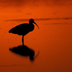 Sanibel Island, FL.A  White Ibis, Eudocimus albus, silhouetted at sunset, at Ding Darling National Wildlife Refuge.  Tidal flat.