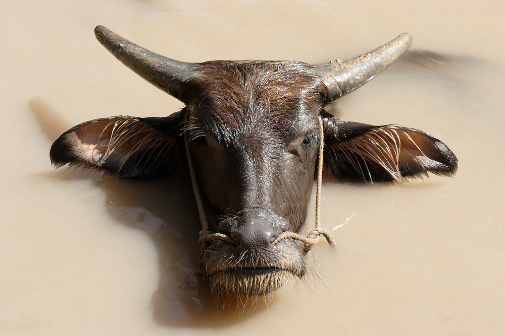 Head of a water buffalo emerging from smooth but muddy canal water forms a sharply graphic silhouette.