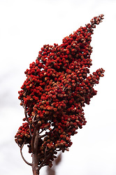 Sumac (Rhus) near the Collier Homestead located in the Buffalo National River in Arkansas.<br /> <br /> The 150-mile Buffalo River in northern Arkansas was the first river in the United States to receive the designation as a National River. The Buffalo National River, encompasses 135 miles of the river which is managed by the National Park Service. The river is a popular canoeing, kayaking, camping, and fishing destination. Popular destinations in the national river&rsquo;s boundaries include; Lost Valley, Hemmed-Iin-Hollow Falls (the highest waterfall between the Appalachian and Rocky Mountains, Indian Rockhouse, numerous caves and over 500-foot tall bluffs. The area is also home to Arkansas&rsquo; only elk herd.