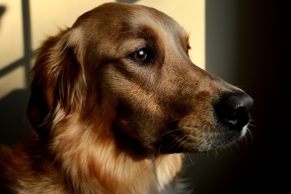 BALTIMORE, MD - January 14: Pickles, a golden retriever dog, is photographed on January 14, 2013 in Baltimore, Maryland. Website is: http://www.picklespup.com (Photo by Patrick Smith | www.patricksmithphotos.com)
