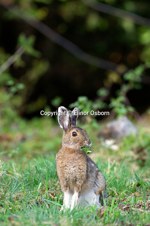 Snowshoe hare changing coats