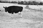 Cow in the middle of a field, Glastonbury, Somerset, 1989