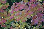 Autumn colours, maple leaves