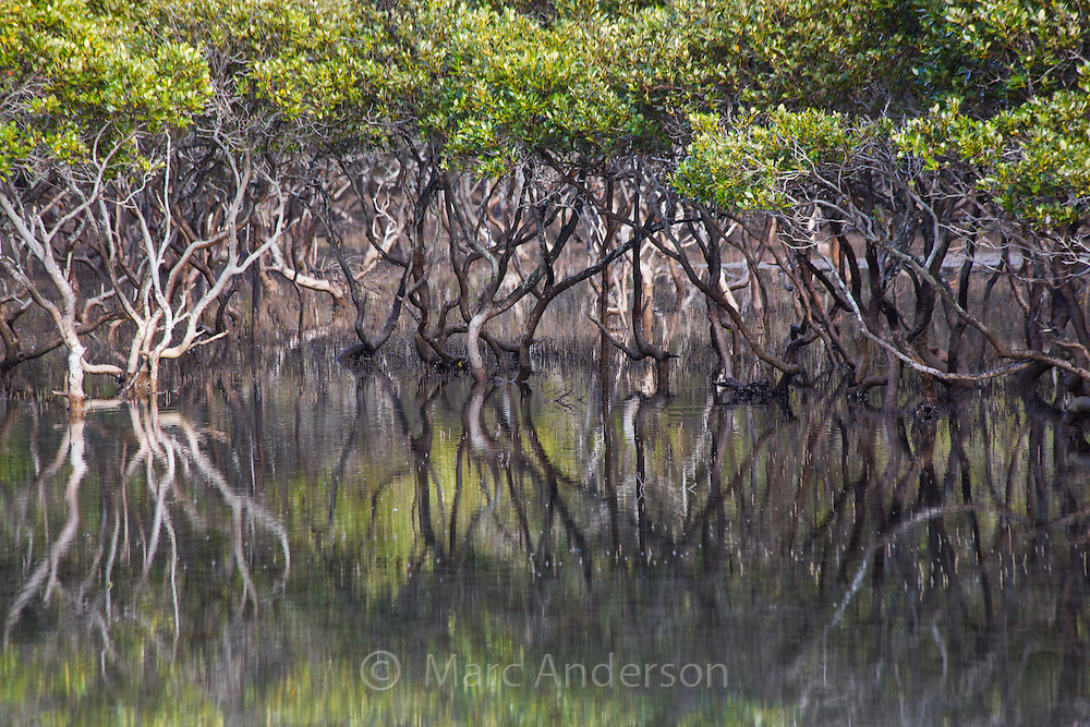 Grey Mangroves (Avicennia marina) in an estuary near Bonnie Vale in the Royal National Park, Australia