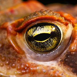 """""""Sapo-cururu (Rhinella crucifer) fotografado em Linhares, Espírito Santo -  Sudeste do Brasil. Bioma Mata Atlântica. Registro feito em 2014.<br /> <br /> <br /> <br /> ENGLISH: Toad photographed in Linhares, Espírito Santo - Southeast of Brazil. Atlantic Forest Biome. Picture made in 2014."""""""