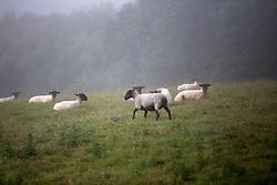 UK ENGLAND CORNWALL 23UN15 - Livestock near Rezare in the Tamar Valley between Devon and Cornwall.<br /> <br /> jre/Photo by Jiri Rezac / WWF UK<br /> <br /> &copy; Jiri Rezac 2015