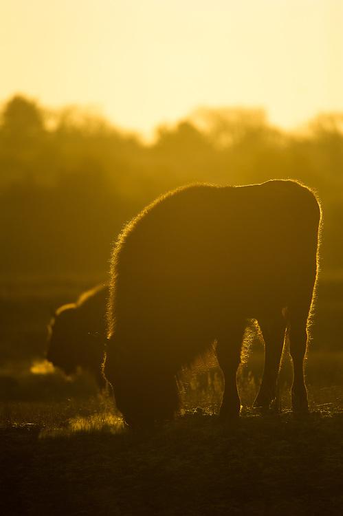 European bison (Bison bonasus) backlit on a cold morning