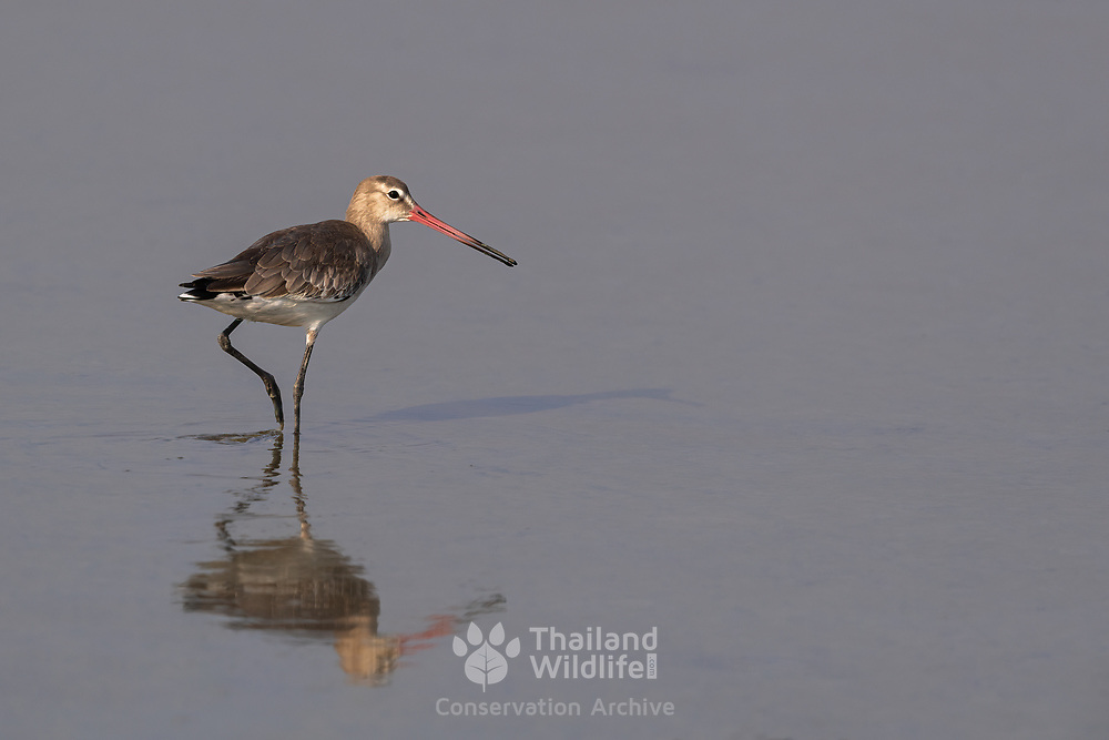 The black-tailed godwit (Limosa limosa) is a large, long-legged, long-billed shorebird first described by Carl Linnaeus in 1758. Here seen in winter plumage.