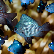 Juvenile Three Spot Damselfish Dascyllus trimaculatus at Lembeh Straits, Indonesia.