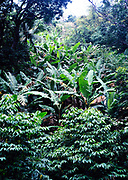 Tropical landscape rainforest banana trees growing in Blue Mountains, Jamaica, West Indies, 1990