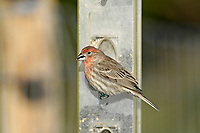 House Finch (Carpodacus mexicanus), on seed feeder, Courtenay, Vancouver Island, Canada   Photo: Peter Llewellyn