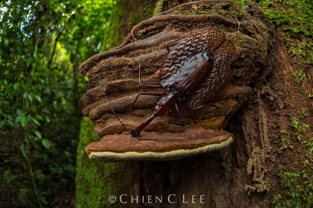 Violin Beetle (Mormolyce castelnaudi). Danum Valley, Sabah.