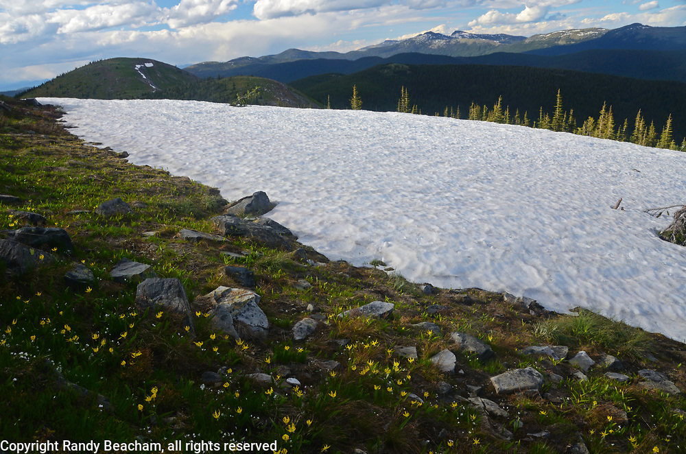 Glacier lilies and a snowbank in the Buckhorn Ridge Roadless Area along the Idaho Montana Divide in the Purcell Mountains.