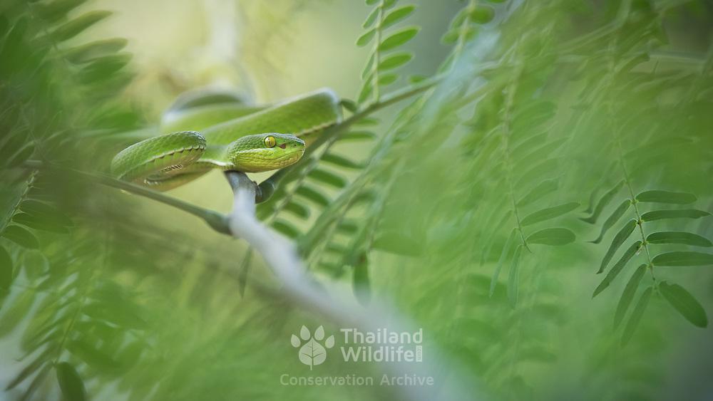 White-lipped Pit Viper (Trimeresurus albolabris) male in Sung Noen, Nakhon Ratchasima, Thailand