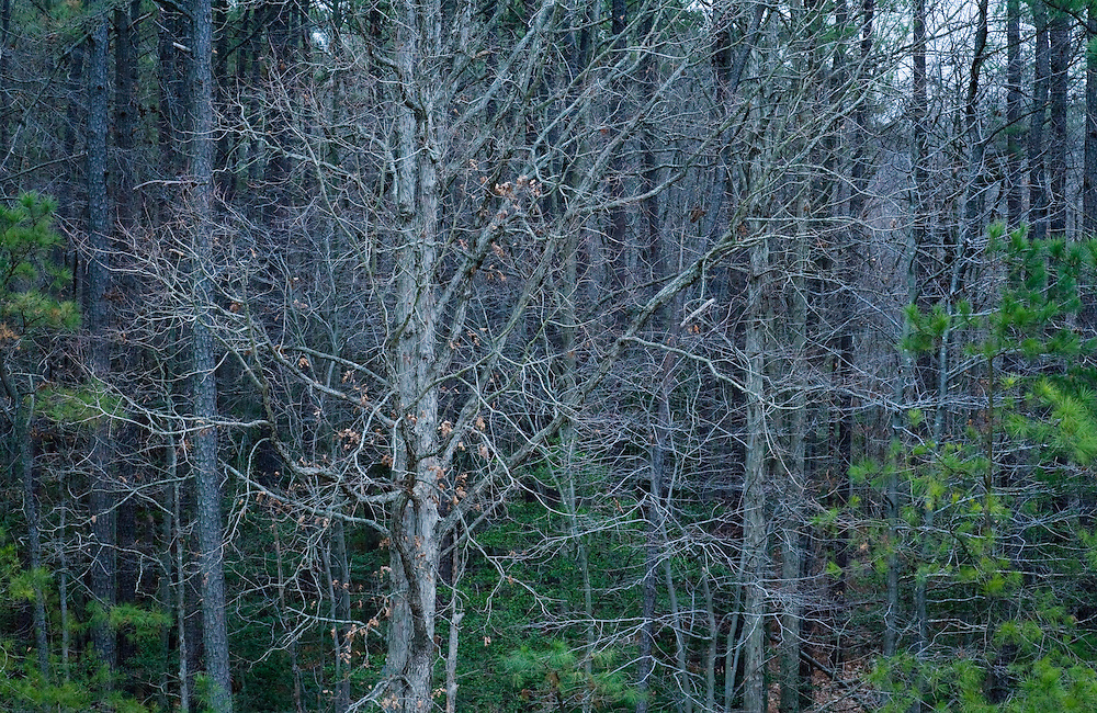 An elevated view looking into a mixed hardwood and pine forest, Winter, Southern Maryland
