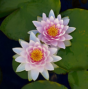 Two Lilies, Ahwahnee, California 2010