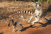 Ring-tailed Lemur<br /> Lemur catta<br /> Young males fighting<br /> Berenty Private Reserve, Madagascar