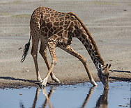 A giraffe drinks from a waterhole in east Africa