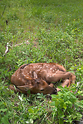 A wild, male newborn rocky mountain elk (Cervus elaphus nelsoni) calf less than 24 hours old. Newborn calves like this one will lay still and do their best to hide when a threat is perceived. Sled Springs Elk Study Area, Northeast Oregon.