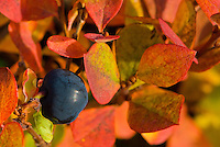 Closeup of single blueberry during fall in Southcentral Alaska.