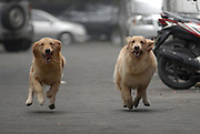 "SURABAYA, INDONESIA - MARCH 15: <br /> <br /> Two Dogs Who Love Ride Motorcycle In Surabaya<br /> <br /> Handoko Njotokusuma The owner who is also a 59-year-old businessman has even claimed to have two types of smart Goldens. Ace and Armani also often invited to stroll around the city of Surabaya on a motorcycle like a beloved grandchild.<br /> <br /> ""At the age of four months, I taught them how to sit in the front. After they grew to full size, approximately eight months, Handoko taught them to sit on the luggage rack. After being taught, bothe dogs would take it in turn and wait for there chance to sit on the engine. <br /> Many people who are interested want photos with Ace and Armani. I am happy every day, ""said Handoko.<br /> <br /> With there helmet and goggles on the dogs enjoy there daily ride. Ace and Armani always travelby motorcycle, since they were a few months old said <br /> Mr Njotokusuma,  Every time they see the owner Handoko leave home, they run and want ride the bike. There is something that sets them apart as Armani is one who can only sit in the back, but the Ace can sit in the front and rear.<br /> Because of the uniqueness of the second dog, even Handoko to ever get a high price bid to buy Ace and Armani. But for Handoko, both dogs are like flesh and blood ""To me, they are like my children. I love them like a loving wife and my biological child.""<br /> <br /> Photo shows: Indonesian dog lover, Handoko Njotokusuma riding motorcycle with his pet dog, Ace (F) and Armani (B)  in Surabaya, East Java, Indonesia. Handoko Njotokusuma, 59 years, a retired businessman, regularly takes Ace and Armani, a golden retriever, for a ride around the Surabaya city.<br /> ©Syaiful Arif/Exclusivepix Media"