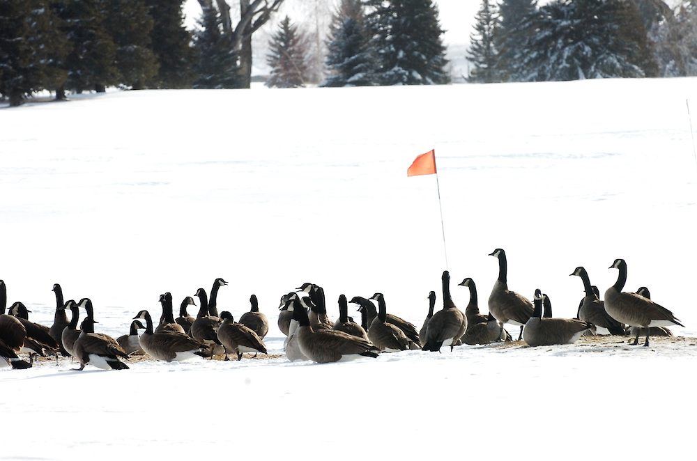 A group of geese take cover from a snow storm on a golf course in Wyoming.
