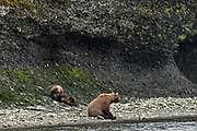 A Brown bear sow guards her cubs playing along the river at the McNeil River State Game Sanctuary on the Kenai Peninsula, Alaska. The remote site is accessed only with a special permit and is the world's largest seasonal population of brown bears in their natural environment.