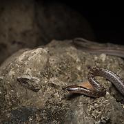 Common Wolf Snake (Lycodon capucinus) at Khao Luang Cave (Tham Khao Luang), Phetchaburi, Thailand