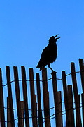 A blackbird singing on a sand fence at Kill Devil Hills on the Outer Banks of NC.