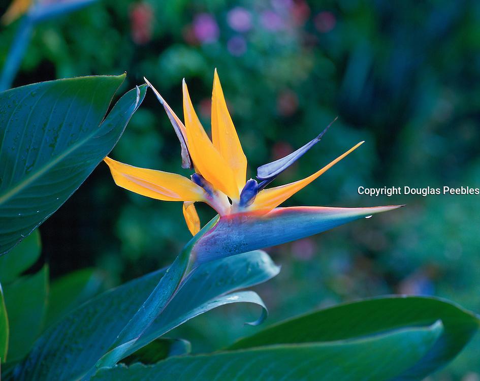 Bird of Paradise, Strelitzia Reginae, Hawaii, USA<br />
