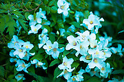 Philadelphus Belle Etoile - Beautiful Star - perennial shrub in bloom in summer in The Cotswolds, Oxfordshire, UK