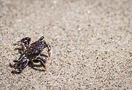 A small, purple crab makes its way along a sandy beach at Cape Perpetua, Oregon.
