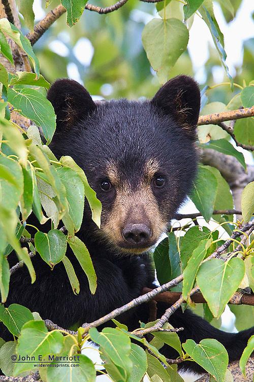 Black bear cub in a polar tree, northern BC, Canada