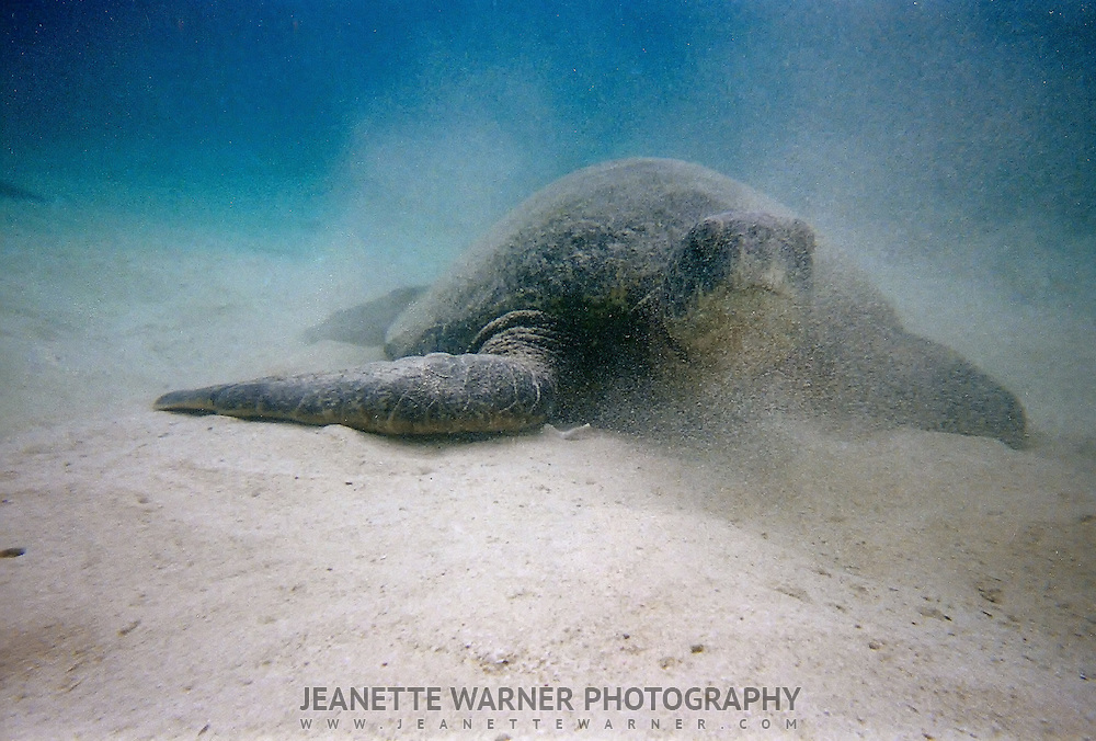 Marine Sea Turtle in the Galapagos Islands