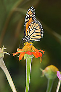 Monarch Butterfly On A Flower, Danaus plexippus