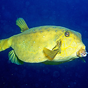 Yellow Boxfish inhabit reefs. Pictue taken New Caledonia.