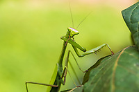 praying mantis in the peruvian Amazon jungle at Madre de Dios Peru
