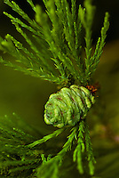 A new pine cone begins its life cycle.